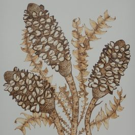 Burnt Banksia Study
