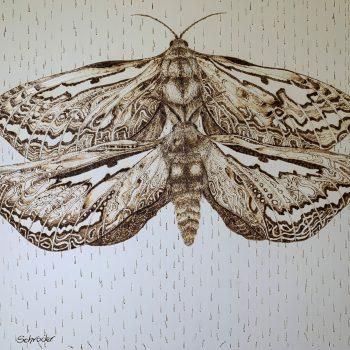 Bardi Moth Male