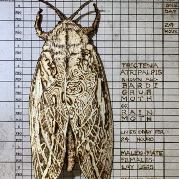 Bardi Moth Sample